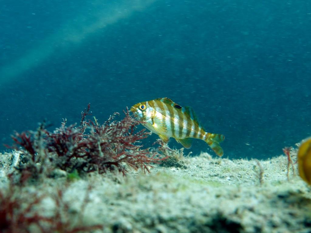 タカノハダイの幼魚