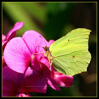 butterfly on vicia