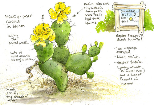 A Nature Art Journal in Southwest Florida Prickly pear in bloom