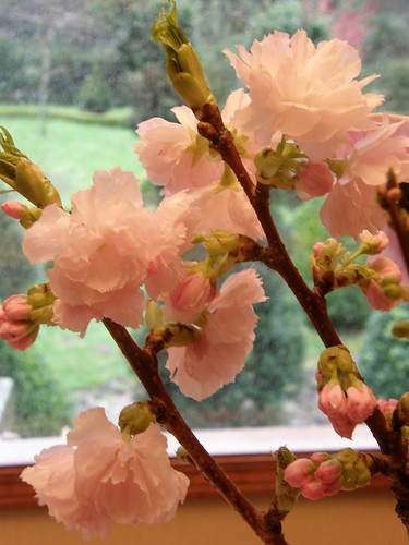 Double Pink Flowering Cherry Branches