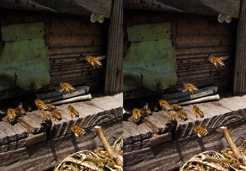 Apis mellifera, stereo parallel view