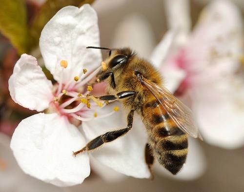 Honey Bee on Purple Plum Blossom by Longsider