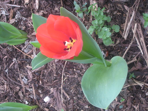 Second tulip