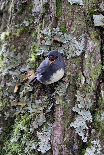 Yelling robin