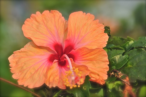 flowers hibiscus johor muar thegalaxy westmalaysia
