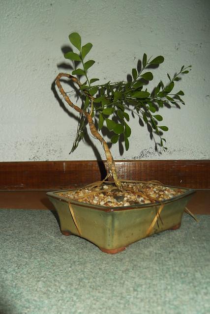 Ausbonsai view topic box wood bunjin literati for Literati bonsai gallery