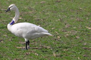 2012-03-08 Tundra Swan N003 (02)  (1024x680)