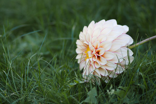 Fleur posée sur l'herbe