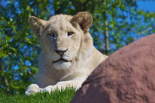 Say Hello to Toronto Zoo's White Lions