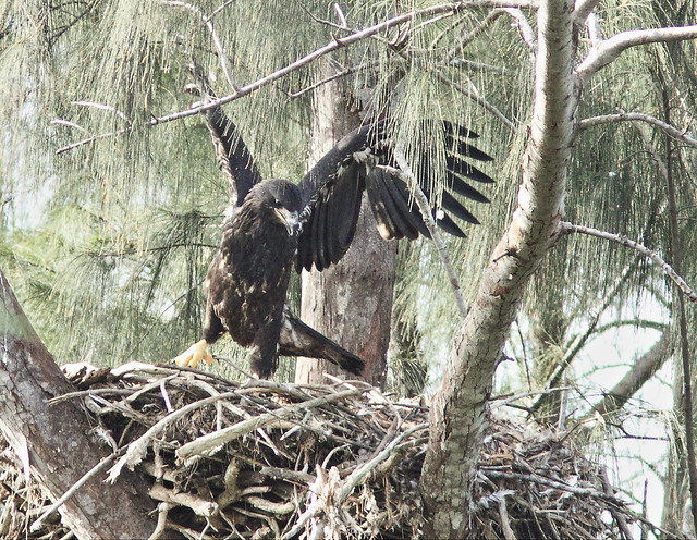 Bald Eaglet Glory alone on nest 5-20140404