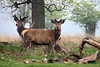 Richmond Park Red Deer by NTGpictures
