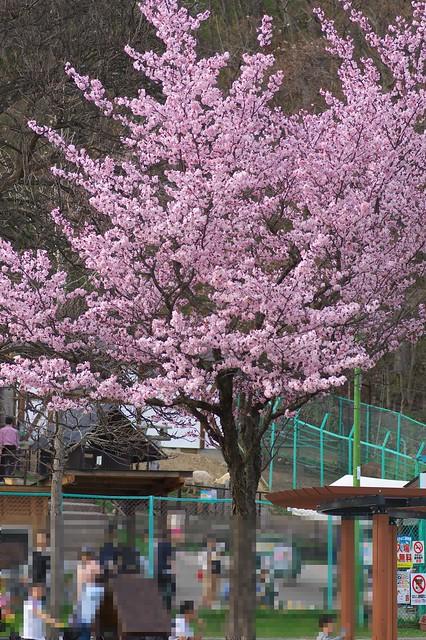 20160503栗山公園桜_03