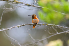 Allen's Hummingbird on a Branch