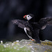 Atlantic puffin (Fratercula arctica) by gndaskalova