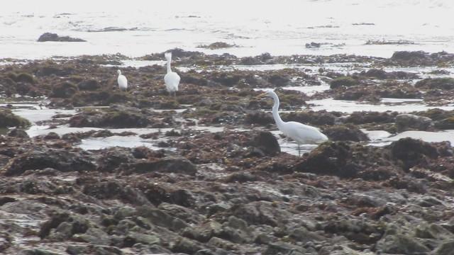 MVI_0215 great egret and snowy egret intertidal zone