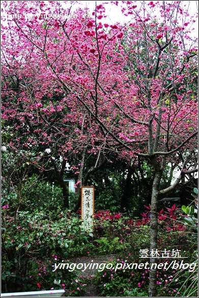 雲林古坑_古坑櫻花20120226_I2768