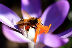 Honey Bee on Crocus 1