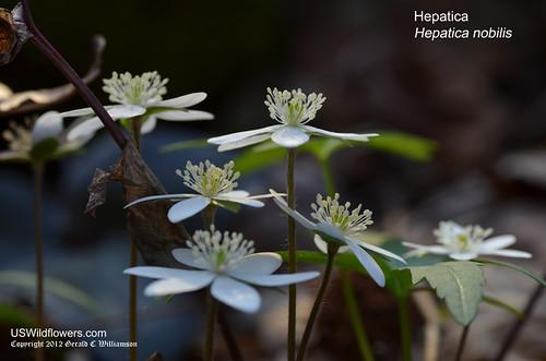 Hepatica - Hepatica nobilis by USWildflowers, on Flickr