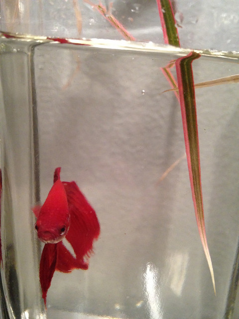 Betta fish fungal infection for Betta fish swim bladder
