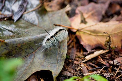 Hickory Tussock Moth larva (Lophocampa caryae)-2.jpg