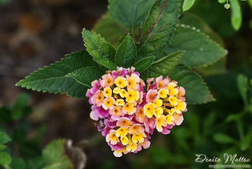 Lantana trio of blossoms