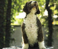 Maradona my Baby! (Spanish Water Dog)