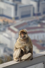 012. Barbary Ape. Top of Rock Cable Car.  March 2012
