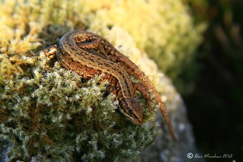 Common Lizard.