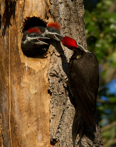 The pileated woodpecker, an important cavity nester, is found in older forest habitat on California forests. Photo Credit: Photo courtesy of Lyle Madeson