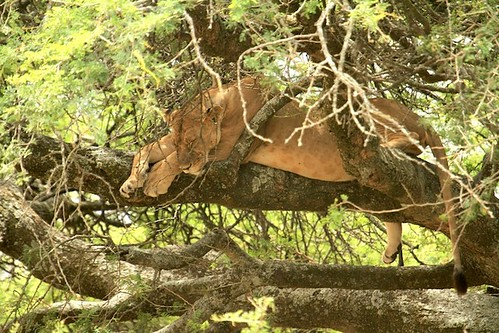 Siesta time - Lion on a tree