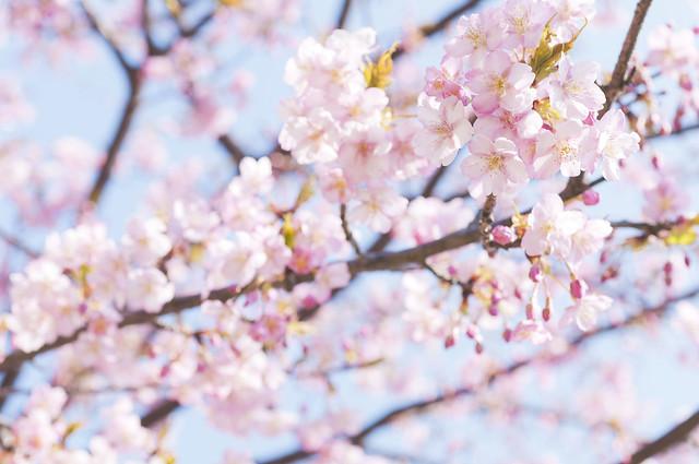 三浦半島の河津桜