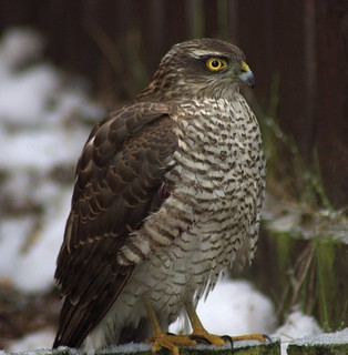 Rest In Peace Little Sparrowhawk