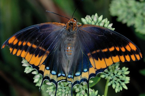 <p>Nombre vulgar: Mariposa del madroño.</p>