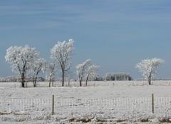 Hoar frost in Manitoba