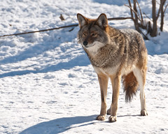animal, czechoslovakian wolfdog, gray wolf, red wolf, snow, mammal, grey fox, fauna, wolfdog, saarloos wolfdog, coyote, wildlife,