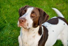 danish swedish farmdog(0.0), harrier(0.0), puppy(0.0), welsh springer spaniel(0.0), treeing walker coonhound(0.0), spaniel(0.0), french spaniel(0.0), english springer spaniel(0.0), dog breed(1.0), animal(1.0), dog(1.0), english foxhound(1.0), american foxhound(1.0), brittany(1.0), pointer(1.0), hunting dog(1.0), carnivoran(1.0),