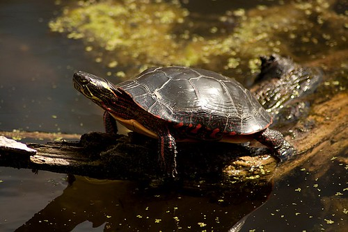 Turtle in pond.