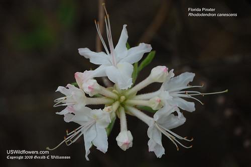 Florida Pinxter - Rhododendron canescens