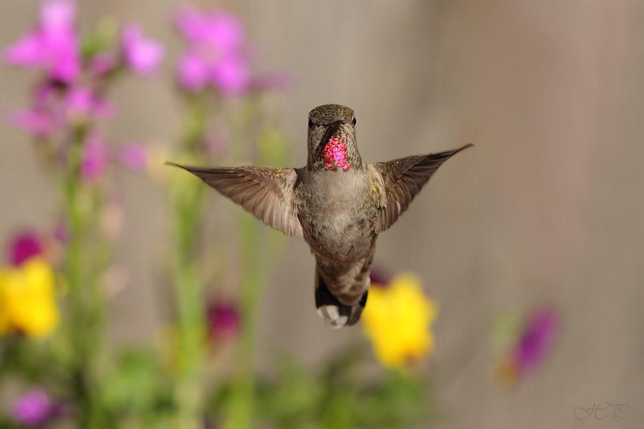 Anna's Hummingbird 021712-6