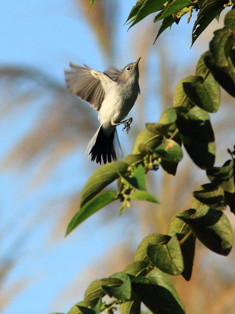 Blue-gray Gnatcatcher in flight 20120218