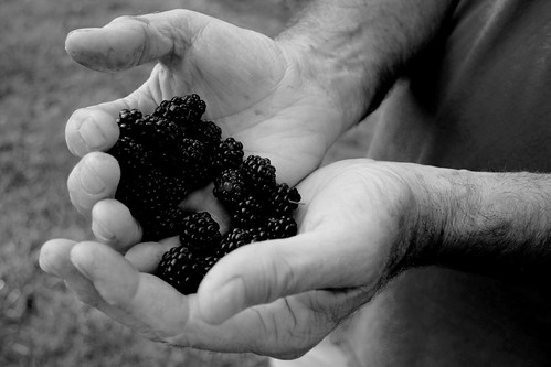 Sun ripened blackberries BW