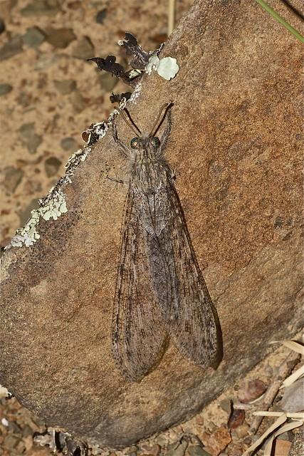 Centroclisis sp. (Myrmeleontidae)