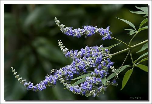 nature nikon louisiana blossom folsom bloom butterflybush floweringtree d700 saariysqualitypictures mygearandme rememberthatmomentlevel1