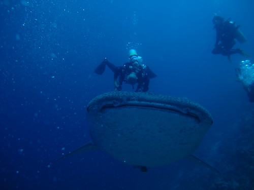 My Husband getting a whack between his legs by the whale shark, while I am cringing with my legs crossed looking on!