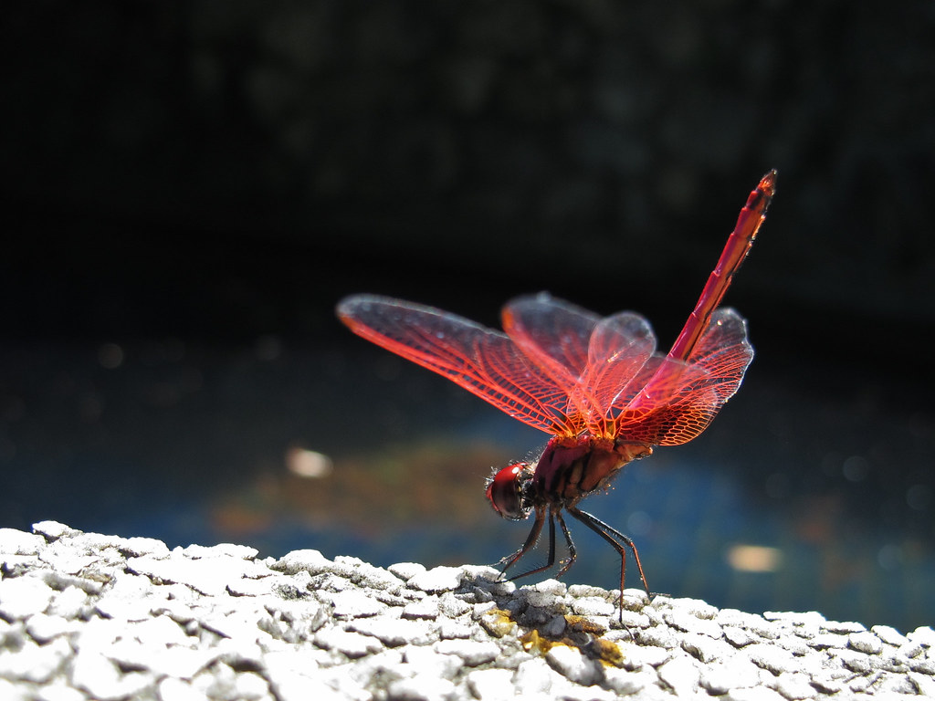 Red Dragonfly 红蜻蜓 ...