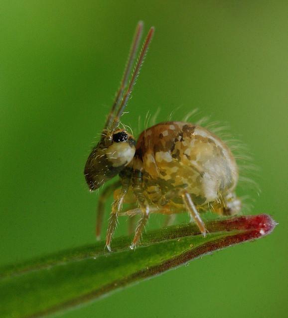 Springtail