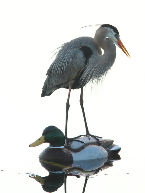 Great Blue Heron on decoy 4-20120302