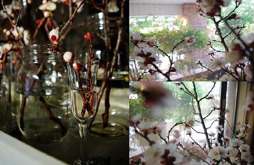 Apriocot Blossoms