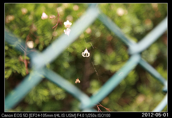 20120501Sterculia nobilis_17