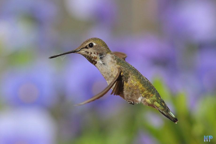 Anna's Hummingbird 031512-2